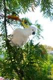 Белый Cockatoo Стоковое фото RF