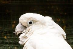 Белый Cockatoo Стоковая Фотография RF