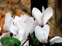 Белый Cyclamen с дождевыми каплями на каменной предпосылке Стоковое фото RF