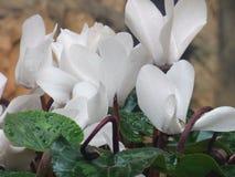 Белый Cyclamen с дождевыми каплями Стоковая Фотография