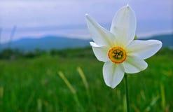 Белый Daffodil Стоковые Изображения RF