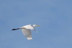 Белый Egret в полете стоковые изображения