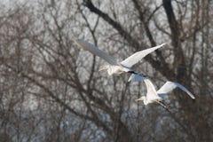 Белый Egret в полете стоковые фотографии rf
