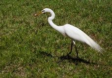 Белый egret на предпосылке зеленой травы Белый кран Стоковые Изображения