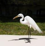 Белый egret на предпосылке зеленой травы Белый кран Стоковое Изображение RF