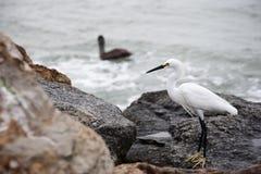 Белый egret снега на утесах океаном Стоковая Фотография