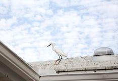 белый egret снега Стоковые Изображения RF