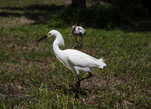 белый egret снега Стоковые Фотографии RF