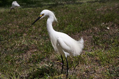 Белый egret снега Стоковое Изображение