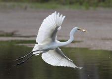Белый egret с рыбами Стоковое Изображение