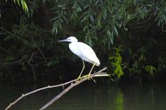 белый egret Стоковые Изображения