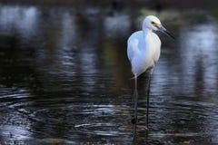 Белый Egret 01 Стоковая Фотография