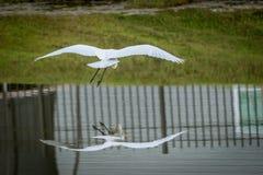 белый egret Стоковое Изображение RF