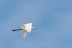 белый egret стоковое фото