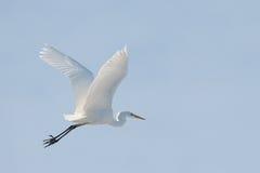 белый egret Стоковое Изображение