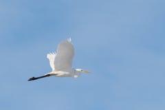белый egret стоковая фотография rf