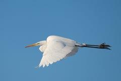 белый egret стоковая фотография