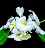 Белый frangipani изолированный на черной предпосылке Стоковые Изображения