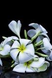 Белый frangipani изолированный на черной предпосылке Стоковая Фотография