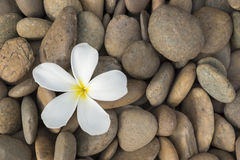Белый frangipani Стоковая Фотография RF