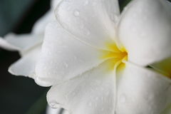 Белый frangipani стоковые изображения