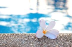 Белый frangipani стоковое фото rf