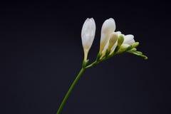 Белый freesia на черноте Стоковые Фотографии RF