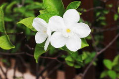 Белый gardenia на дереве имеет один цветок в саде Стоковая Фотография RF
