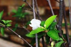 Белый gardenia на дереве имеет один цветок в саде Стоковые Фото