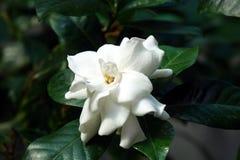 Белый gardenia Стоковая Фотография