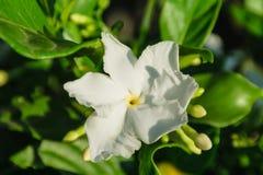Белый gardenia Стоковое Фото