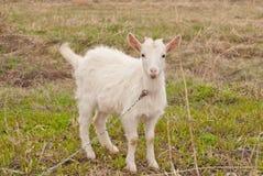 Белый goatling на предыдущем выгоне весны стоковые изображения