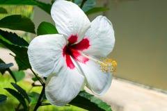 Белый hibiscus Стоковые Изображения