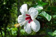 Белый hibiscus Стоковое фото RF