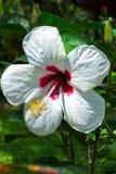 Белый hibiscus Стоковые Фото