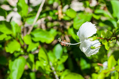 Белый hibiscus Стоковое Изображение