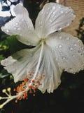 Белый hibiscus Стоковые Изображения RF