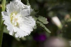 Белый hollyhock Стоковые Фотографии RF