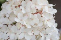 Белый Hortensia Стоковое фото RF