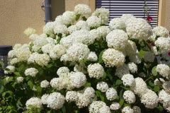 Белый Hortensia стоковая фотография rf