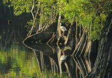 Белый Ibis - прогулка утра Стоковое Фото
