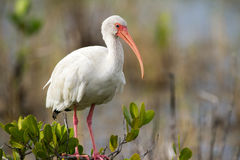 Белый Ibis садился на насест Стоковые Фотографии RF