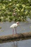 Белый ibis стоя в болоте в рождестве, Флориде Стоковое фото RF