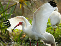 Белый ibis с протягиванными крылами в Флориде Стоковое фото RF