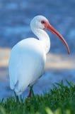 Белый Ibis Стоковое фото RF