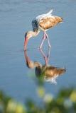 Белый ibis & x28; Albus& x29 Eudocimus; Стоковое фото RF