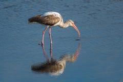 Белый ibis & x28; Albus& x29 Eudocimus; Стоковое Изображение