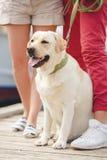 Белый labrador на прогулке с их предпринимателями Стоковые Изображения RF