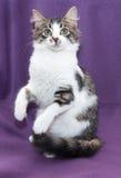 Белый longhair котенок с серыми пятнами и зелеными глазами сидит Стоковое фото RF