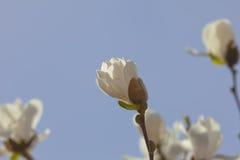 Белый magnolia Стоковая Фотография